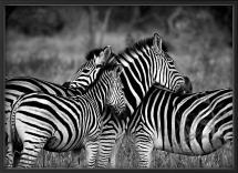 Zebra group-hugs