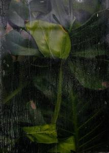 Rainy Monstera